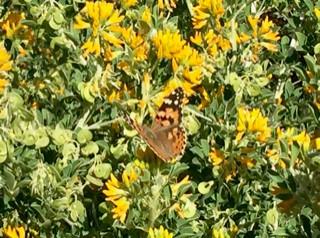 butterfly art blog 8