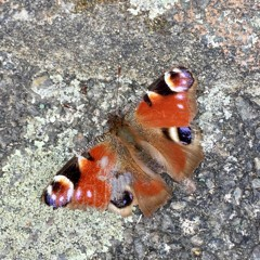 butterfly art blog 40a